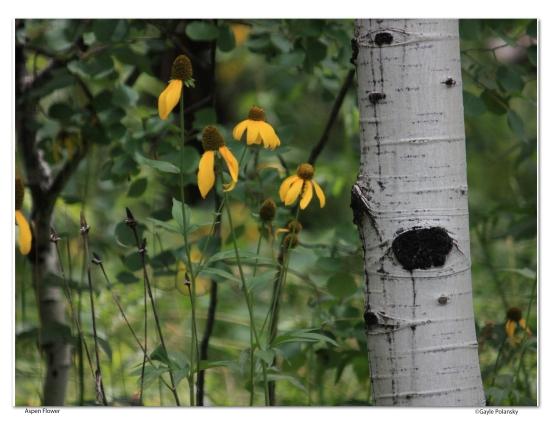 CO aspen and flower